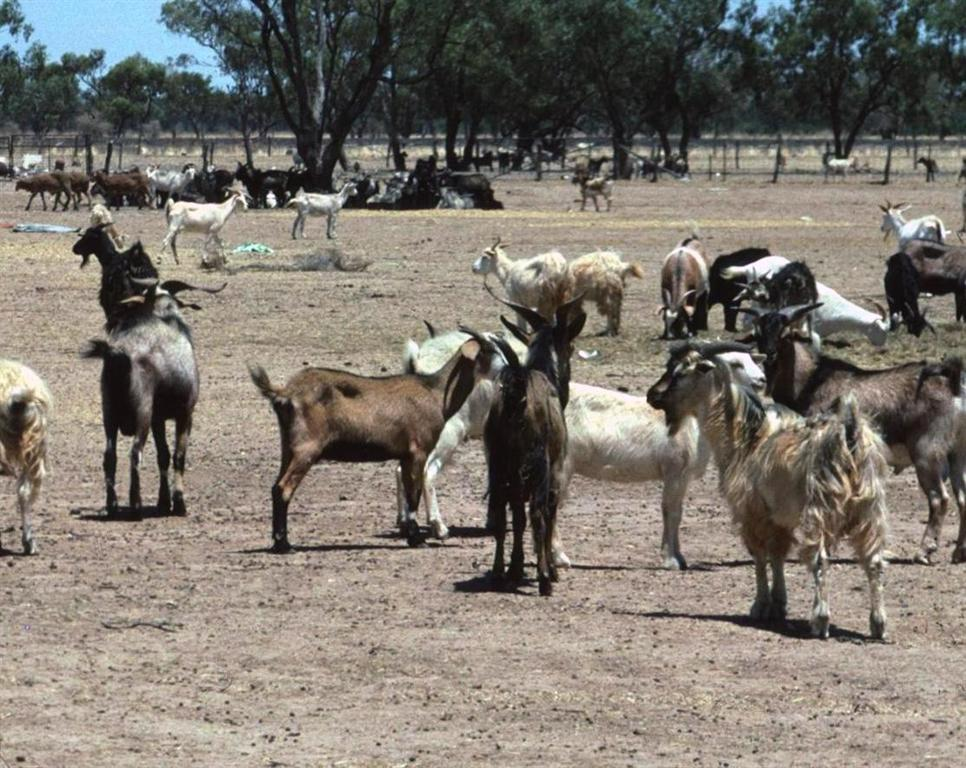 Feral goats at Bourke, source G Saunders