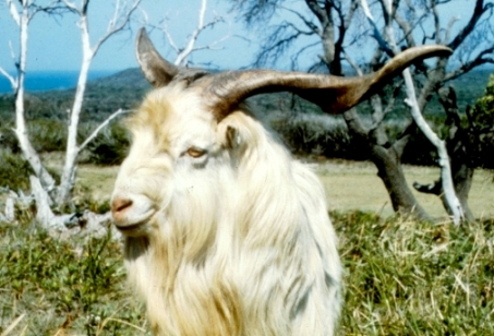 Feral goat, source P O'Brien