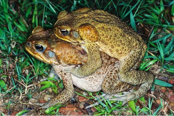 Cane toad, photo by J Pumpars