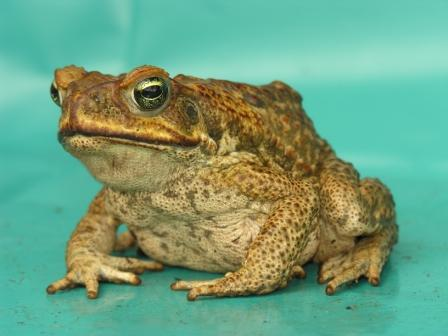Cane toad, photo by Kimberley Toad Busters