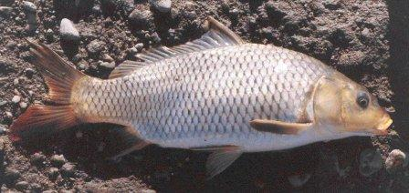 Common carp, photo source unknown