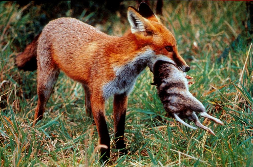 Red fox eating rabbit - photo#45