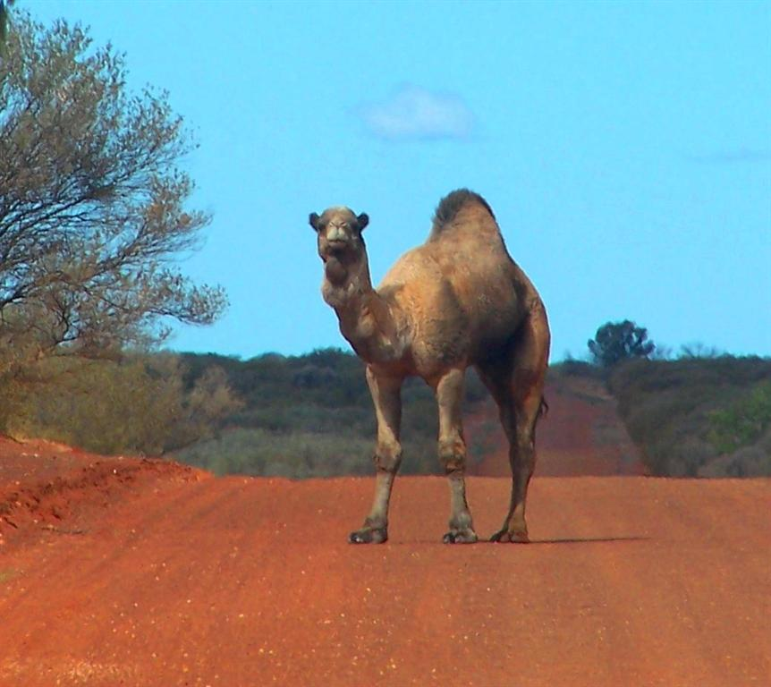 Feral camel, photo by B Zeng