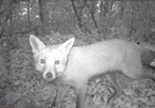 Fox captured on infrared camera, source TBC