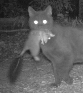 Feral cat preys on native brush-tailed phascogale. Image: M Maxwell