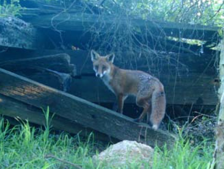 Fox seen in an urban area. Image by Jake Relf
