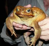Cane toad, image by FrogWatch NT