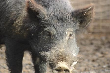 Feral pig, photo by B Cowled